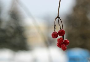 природа,macro,guelder rose,калина,Зима,фон,снег,мороз,snow,макро,nature,winter,background,bart,боке,снг