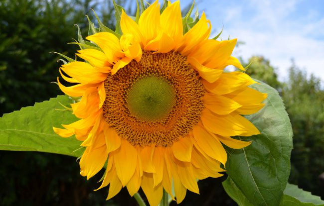 sun,yellow,sunflower
