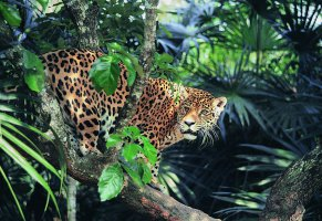 jaguar,animals,forest